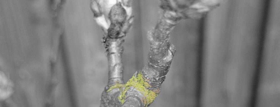 ontknoppende knoppen worden bladeren in de lente